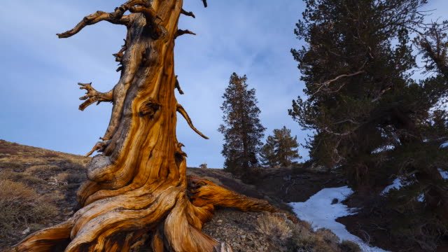 Time Lapse Ancient Bristlecone Pine forest, Inyo National forest, White Mountains, California, USA