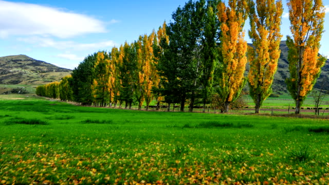 Time lapse, autumn tree in the park and blue sky, arrow town, new zealand,
