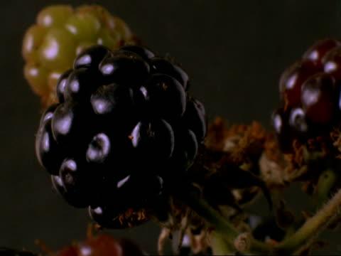 time lapse - cu blackberries ripening, england - brambleberry stock videos & royalty-free footage