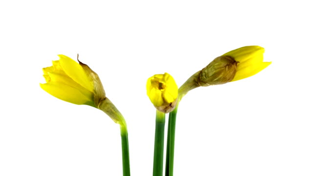 time lapse - blooming daffodil - paperwhite narcissus stock videos & royalty-free footage