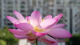Time lapse blooming of a pink lotus flower, from night to morning, 4k footage, timelapse.
