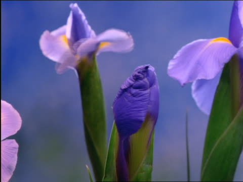 time lapse blue iris blooming - cinematography stock videos & royalty-free footage