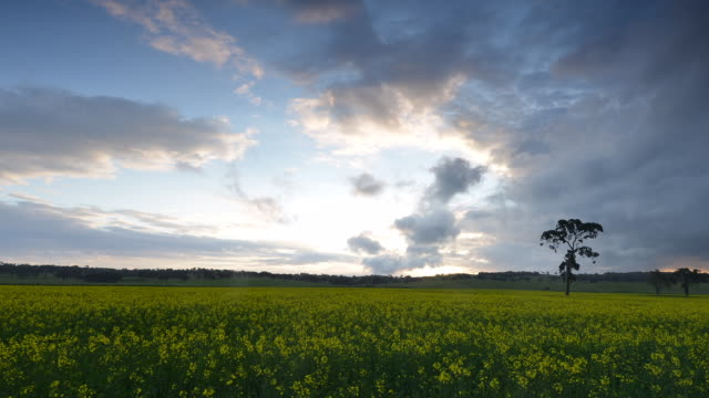 time lapse canola field - horizont über land stock-videos und b-roll-filmmaterial