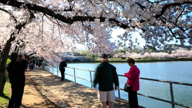 4k time lapse : cherry blossom festival - thomas jefferson stock videos & royalty-free footage