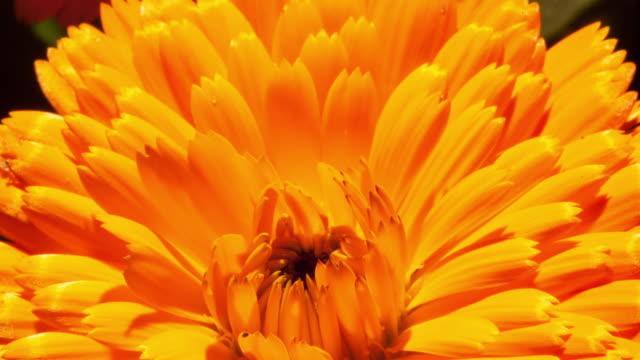 vídeos y material grabado en eventos de stock de time lapse - chrysanthemum blossoms - crisantemo