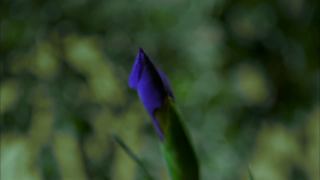 time lapse close up bluish-purple iris bud blooming / flower opening to reveal yellow coloring inside - iris plant stock videos & royalty-free footage