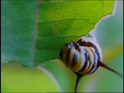 time lapse close up monarch caterpillar nibbling on green leaf of plant - animal antenna stock videos & royalty-free footage