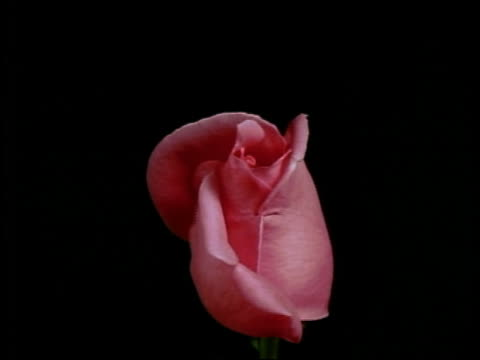vidéos et rushes de time lapse close up pink rose blooming in front of black background - rose
