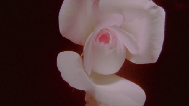 time lapse close up pink rose opening + wilting