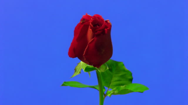 Time lapse close up red rose blooming in front of blue background
