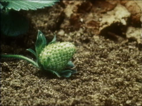 1983 time lapse close up strawberry growing from small green bud to fully mature and ripe