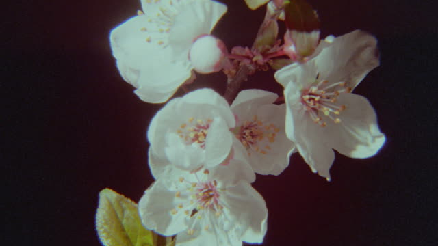 time lapse close up white blossoms opening (cinquefoil?) - blumen stock-videos und b-roll-filmmaterial