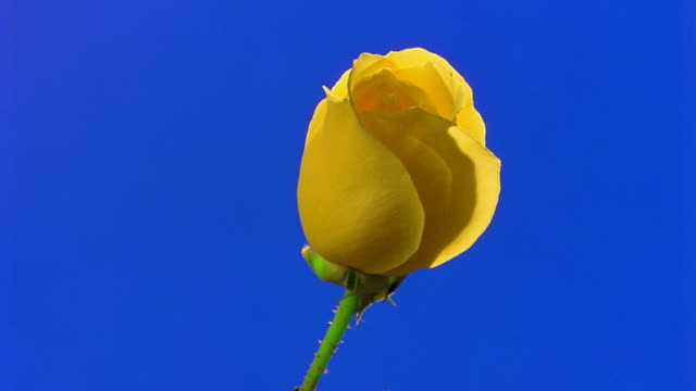 vídeos de stock, filmes e b-roll de time lapse close up yellow rose blooming in front of blue background - cabeça da flor