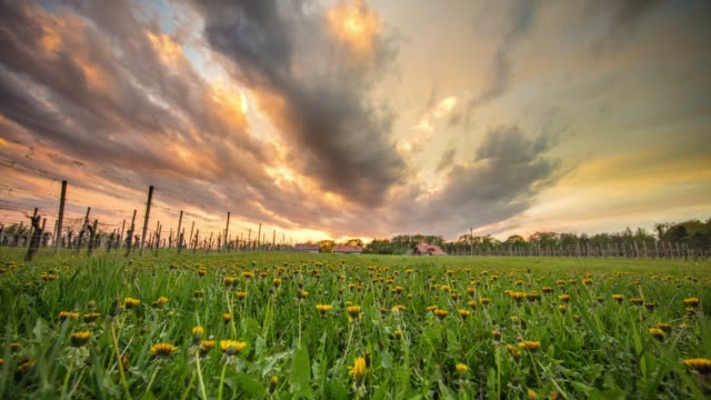 ws time lapse clouds moving above tranquil,idyllic dandelion field. - wildflower stock videos & royalty-free footage