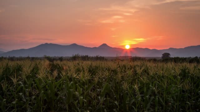 4k time lapse : corn field and sunrise in farm agriculture night to day time lapse. - grass family stock videos & royalty-free footage