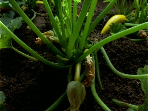 vídeos y material grabado en eventos de stock de cu time lapse courgette plant growing and flowering - calabacita