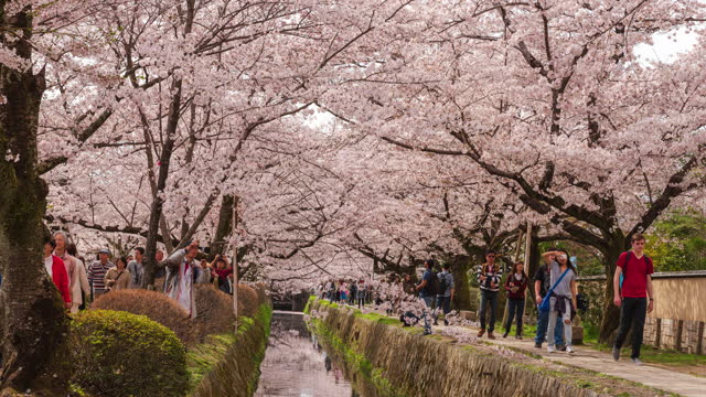 4k time lapse: crowded people at the philosopher's path, looking at sakura (cherry blossom) and taking photo. - footpath stock videos & royalty-free footage
