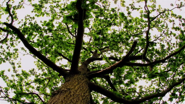 time lapse effect looking up at leaves of oak tree while rotating around trunk - oak stock videos and b-roll footage