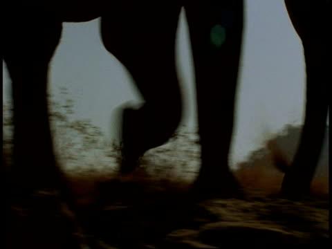 time lapse cu elephant legs walking across frame, bandhavgarh national park, india - national icon stock videos & royalty-free footage
