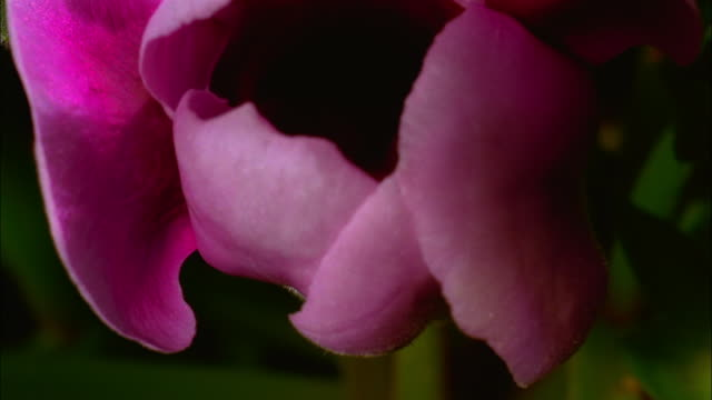 time lapse extreme close up pink flower opening up to reveal darker interior and pistil and stamen - stamen stock videos and b-roll footage