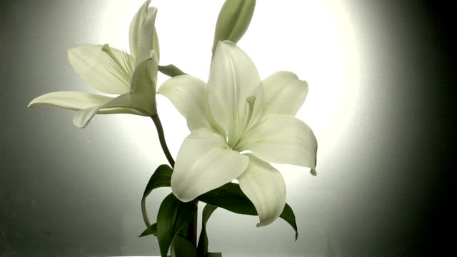 time lapse flower - lily stock videos & royalty-free footage