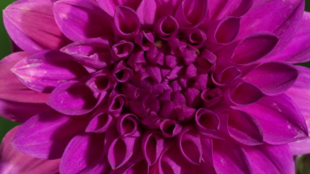 vidéos et rushes de time lapse flowers - violet