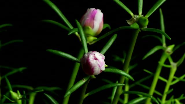 Time lapse flowers,Common Purslane