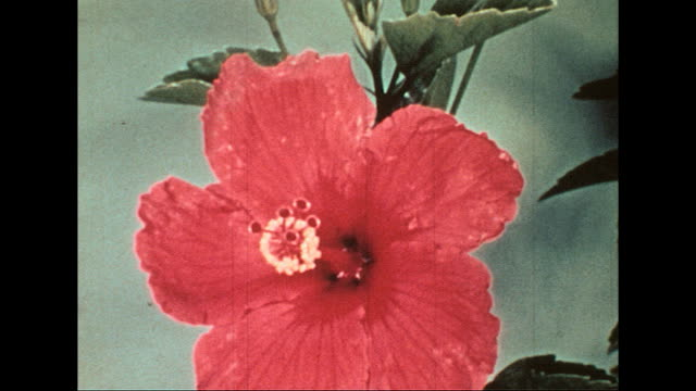 Time lapse footage of flowers blooming Time lapse footage of flowers blooming on January 01 1955
