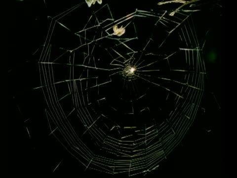 ms time lapse garden spider, araneus diadematus, spins orb web - arachnid stock videos & royalty-free footage