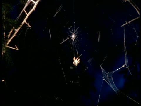 Time lapse Garden Spider (Araneus) spins orb web, England