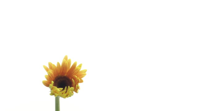 time lapse gerbera flower on white background