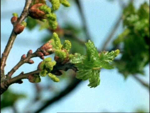 time lapse - cu leaf buds and catkins of common english/pedunculate oak tree (quercus robur) opening, uk - oak tree stock videos & royalty-free footage
