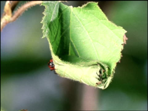 vídeos y material grabado en eventos de stock de time lapse leaf rolling weevil (apoderus coryli) beetle, nest-building, england - escarabajo de cuerno largo