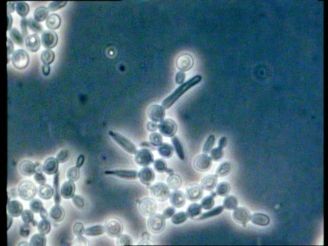 cu time lapse microscopic view of candida albicans fungus, thrush growing, fungal hyphae, phase contrast illumination - thrush stock videos & royalty-free footage