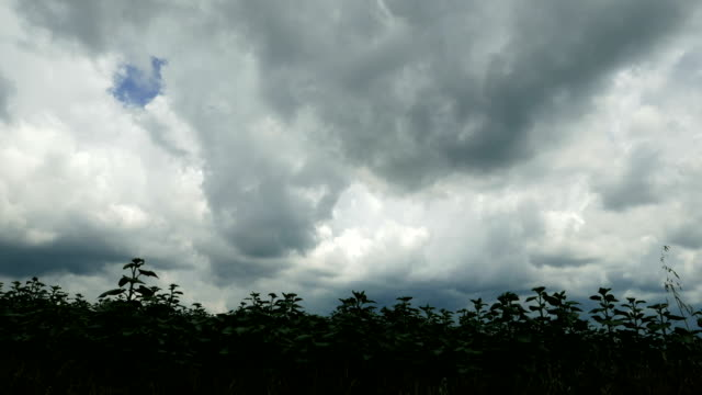 Time lapse of a dramatic clouds over green sunflower field