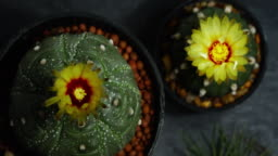 Time lapse of cactus flowers opening, Fowewrs of Astrophytum asterias kikko, Park and garden concept and free copy space.