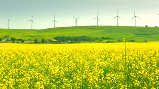 time lapse of canola field and windmills - alberta stock videos & royalty-free footage