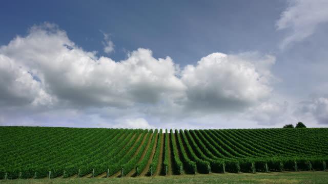vídeos de stock e filmes b-roll de time lapse of clouds drifting over vineyard / matakana, new zealand - videira