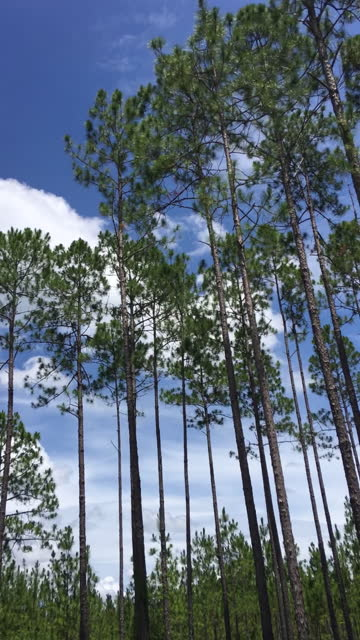time lapse of clouds moving behind swaying pine treetops - florida us state stock videos & royalty-free footage