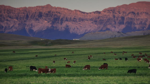 Time lapse of cows grazing in the mountain foothills