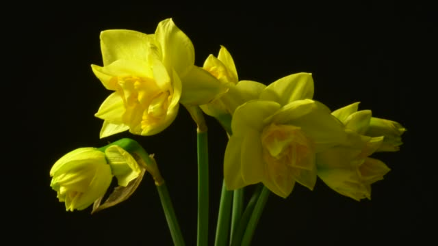 time lapse of daffodils opening - falls church stock videos & royalty-free footage