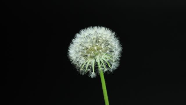time lapse of dandelion flower seeds opening on black background - dandelion stock videos & royalty-free footage