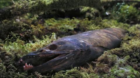 vídeos y material grabado en eventos de stock de time lapse of dead salmon rotting in a forest - pudrirse