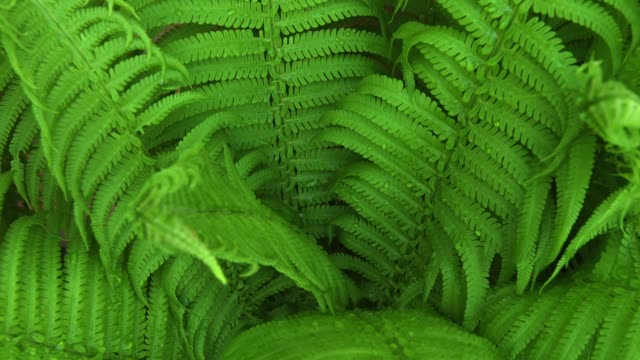time lapse of dry up young fern - fern stock videos & royalty-free footage