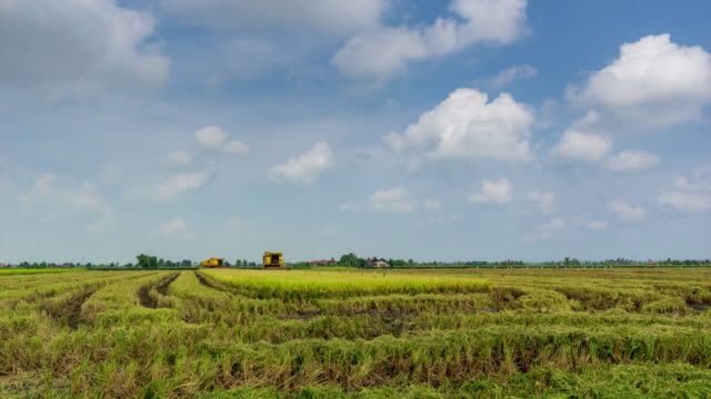 4K Time lapse of farmer uses machine to harvest rice on paddy field. Sabak Bernam is one of the major rice supplier in Malaysia.