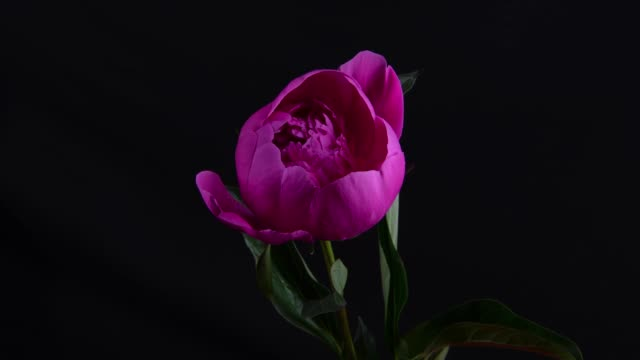 time lapse of flower of peony - capolino video stock e b–roll
