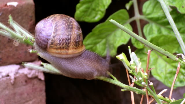 Time Lapse of garden snail on branch