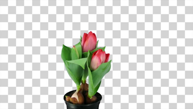 Time lapse of growing and opening red tulip (genus: Tulipa, family: Liliaceae) in a pot. Shooting took 7 days. This clip has a transparent background. Clip isolated on black is also available