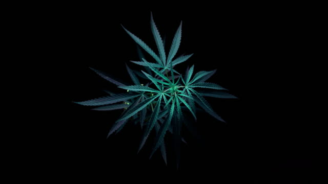 time lapse of motion of branch of marijuana - branch plant part stock videos & royalty-free footage