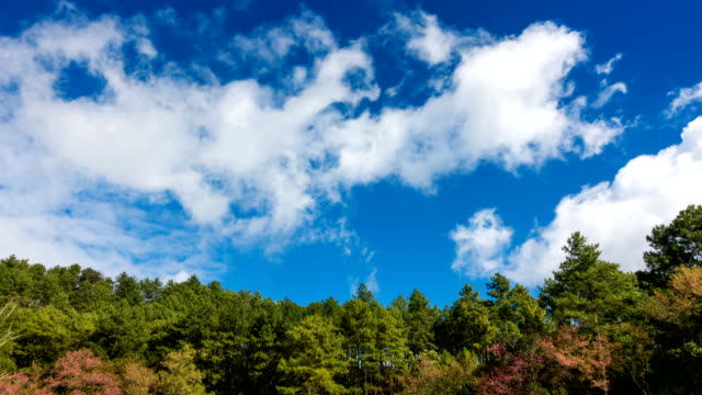 Time Lapse of Pine forest and moving cloud blue sky in Chiang Mai, Thailand